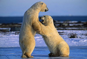 Two Polar bears play fighting {Ursus maritimus} Churchill, Manitoba  -  Eric Baccega