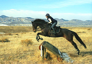 Bay Thoroughbred horse jumping cross-country jump, Colorado, USA.  -  Carol Walker