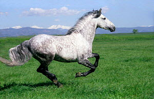 Grey Andalusian stallion cantering with Rocky mtns behind, Colorado, USA. - Carol Walker