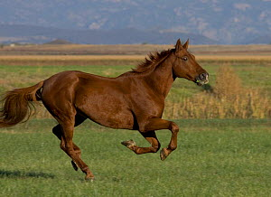 Chestnut Thoroughbred horse cantering, Colorado, USA.  -  Carol Walker