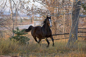 Thoroughbred horse galloping, Colorado, USA  -  Carol Walker