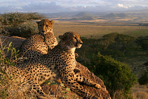 Two hand reared male Cheetahs after rehabilitation to the wild. Lewa WC, Kenya, East Africa  -  SIMON KING