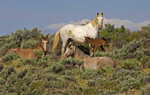 Mustang / Wild horse family group, mare + two fillies + colt foal, Wyoming, USA Adobe Town HM - Carol Walker