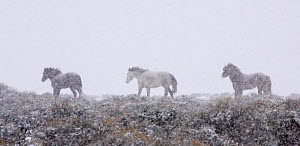 Mustang / Wild horse - mares + stallion in snow storm, Wyoming, USA. Adobe Town HMA  -  Carol Walker