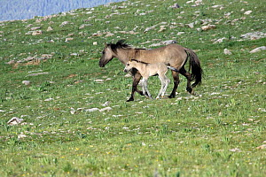 Mustang / wild horse mare and colt running downhill, Montana, USA. Pryor mountains HM - Carol Walker