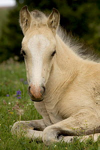 Mustang / wild horse filly portrait, Montana, USA. Pryor mountains HMA  -  Carol Walker