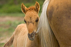 Mustang / Wild horse filly chewing on young stallion's tail, Montana, USA. Pryor  -  Carol Walker