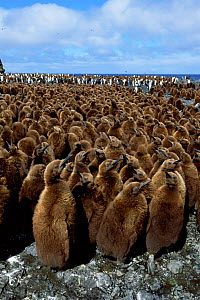 King penguin chicks in creche {Aptenodytes patagoni} Marion Island, sub-antarctica (Taken on location for BBC Planet Earth Shallow Seas 2005).  -  Ian McCarthy