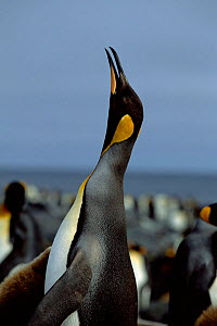King penguin trumpeting {Aptenodytes patagoni} Marion Island, sub-antarctica (Taken on location for BBC Planet Earth Shallow Seas 2005).  -  Ian McCarthy