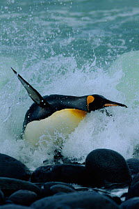 King penguin leaping out of surf {Aptenodytes patagoni} Marion Is, sub-antarctica.  (Taken on location for BBC Planet Earth Shallow Seas 2005).  -  Ian McCarthy