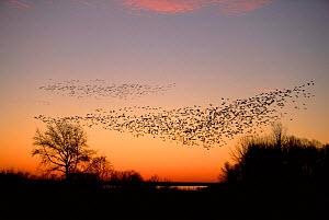 Flock of Snow geese in dawn sky {Chen caerulescens} Delaware, USA  -  Ian McCarthy