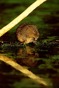Water vole with stripped sycamore branch {Arvicola terrestris} UK, Derbyshire.  -  Andrew Parkinson