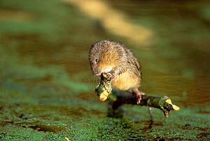 Young Water vole stripping bark from sycamore branch {Arvicola terrestris} UK, Derbyshire.  -  Andrew Parkinson