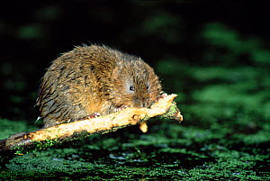 Water vole stripping bark from sycamore branch {Arvicola terrestris} Derbyshire, England  -  Andrew Parkinson