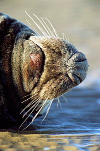 Close up of whiskers of male Grey seal {Halichoerus grypus} Lincolnshire, UK  -  Andrew Parkinson