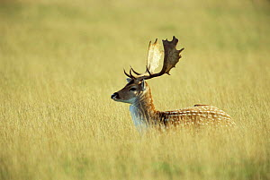 Fallow deer stag in grassland {Dama dama} Leicestershire, England  -  Andrew Parkinson