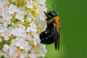 Carpenter bee {Xylocopa sp} feeding at butterfly bush, Pennsylvania, USA. - Doug Wechsler