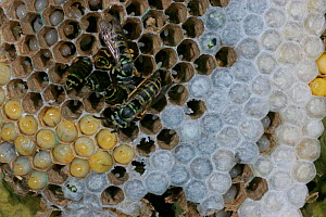 Eastern yellowjacket nest {Vespula maculifrons} with adults and larvae, Pennsylvania, USA  -  Doug Wechsler