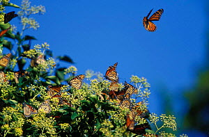 Monarch butterflies feeding on Ivy, New Jersey, USA. On southbound migration.  -  Doug Wechsler
