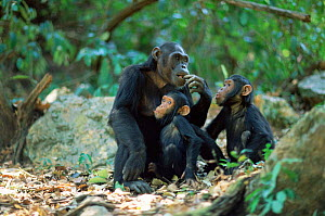 Chimpanzee with young, Gombe NP, Tanzania, 2002 'Fanni', 'Fundi' + 'Fudge'  -  Anup Shah