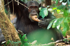Male Chimpanzee feeds on Colobus monkey meat, 'Wilkie' Gombe NP, Tanzania 2003  -  Anup Shah