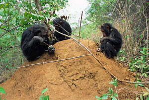Male Chimpanzee + young fishing for termites, Gombe NP, Tanzania 2003 'Gremlin'  -  Anup Shah