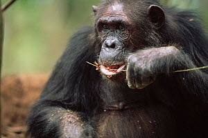 Male Chimpanzee eating termites off twig tool, Gombe NP, Tanzania 2003 'Gremlin' - Anup Shah