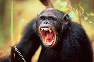 Male Chimpanzee yawning, Gombe NP, Tanzania 2003 'Tubbe' {Pan troglodytes schweinfurtheii} Not available for ringtone/wallpaper use.  -  Anup Shah