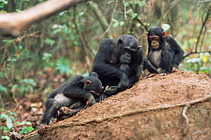Female Chimpanzee + young fishing for termites, Gombe NP, Tanzania 2003 'Fanni' + family - Anup Shah