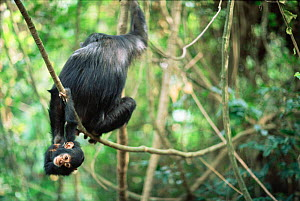 Young Chimpanzee hanging upside-down from mother, Gombe NP, Tanzania 2003 'Tanga' + 'Tom' - Anup Shah