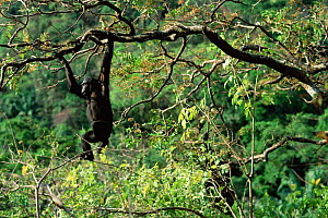 Chimpanzee swinging through trees, Gombe NP, Tanzania 2003 'Fanni'  -  Anup Shah