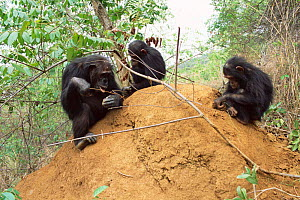 Young Chimpanzees + mother fishing for termites, Gombe NP, Tanzania 2003 'Gremlin'  -  Anup Shah