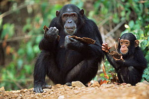 Chimpanzee with young feeding on bark, Gombe NP, Tanzania 2003 'Tanga' + 'Tom'  -  Anup Shah