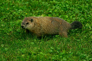 Woodchuck {Marmota monax} feeding on lawn, Pennsylvania, USA.  -  Doug Wechsler