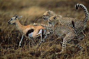 Cheetah cubs learn to hunt gazelle that has been wounded by mother {Acinonyx jubatus} Masai - Anup Shah