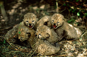 Two-week-old Cheetah cubs in lair in long grass await mother's return {Acinonyx  -  Anup Shah