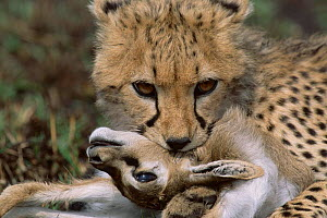 Cheetah cub bites throat of gazelle prey, Masai Mara, Kenya {Acinonyx jubatus}  -  Anup Shah