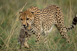 Cheetah mother carrying ten-day-old cub {Acinonyx jubatus} Masai Mara, Kenya  -  Anup Shah