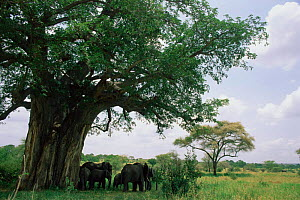 Tarangire National Park, Tanzania, with African elephant herd in shade of tree.  -  Anup Shah