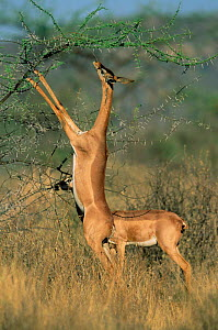 Gerenuk standing grazing on Acacia tree {Litocranius walleri} Buffalo Springs, Kenya  -  Anup Shah