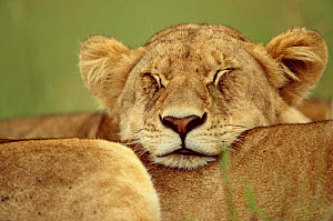 African lion resting head on another lion {Panthera leo} Masai Mara, Kenya - Anup Shah