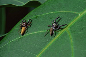 Male Jumping spiders {Bavia aericeps} captive, occurr in South East Asia  -  Steve Packham