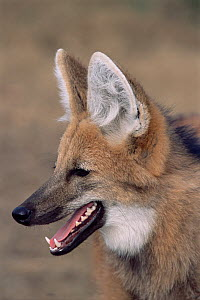 RF- Maned wolf (Chrysocyon brachyurus). Argentina, captive. (This image may be licensed either as rights managed or royalty free.)  -  Gabriel Rojo