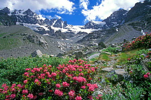Rhododendron ferrugineum in flower, Gran Paradiso National Park, Italy  -  Philippe Clement