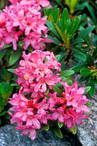 Rhododendron ferrugineum in flower, Gran Paradiso NP, Italy  -  Philippe Clement