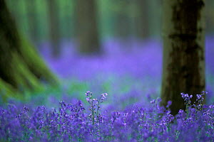 Bluebells flowering in woodland {Hyacinthoides non-scripta} Belgium  -  Philippe Clement
