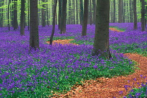 Path winding through Bluebell woodland {Hyacinthoides non-scripta} Belgium  -  Philippe Clement