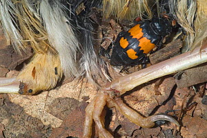 Burying / Sexton beetle {Nicrophorus vespillo} next to dead bird, France  -  Philippe Clement
