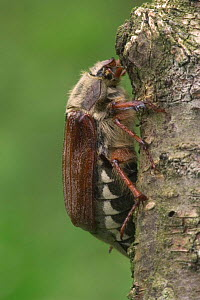 Common cockchafer / Maybug {Melolontha melolontha} France  -  Philippe Clement
