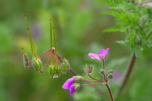 Common storksbill in flower {Erodium cicutarium} France  -  Philippe Clement